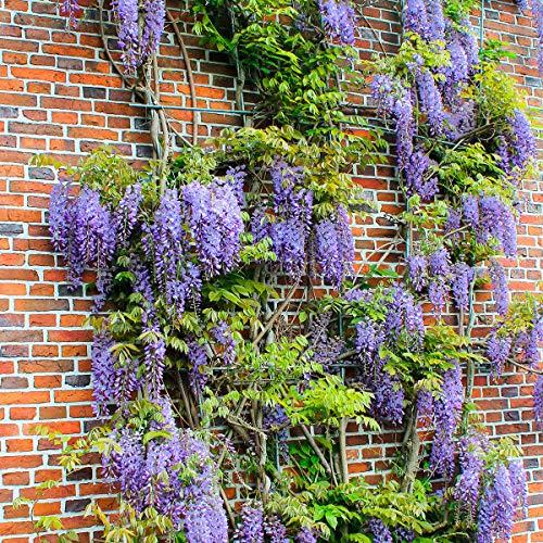 Qulista Samenhaus - Rarität 10pcs Duftend Blauregen Kletterpflanzen Blumensamen winterhart mehrjärhig für Hauswände, Zäune und Rosenbogen