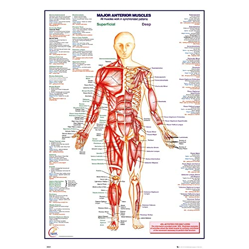 human body major anterior muscles poster 24 x 36in
