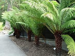 Dicksonia Antarctica - Tree Fern, Plant in 9cm Pot