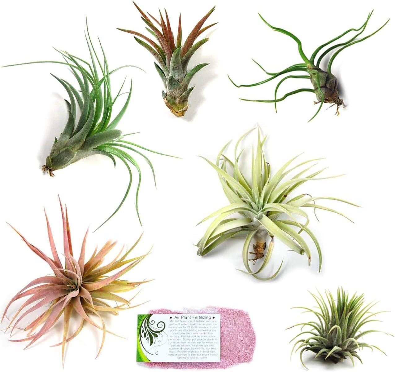 Air Plants for Sale 5 Pack of Ionantha Guatemala Air Plants Spectacular Blooms 30 Day Air Plant Guarantee FAST SHIPPING