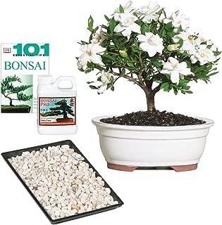 Brussel's Bonsai Live Gardenia Outdoor Bonsai Tree-4 Years Old 6