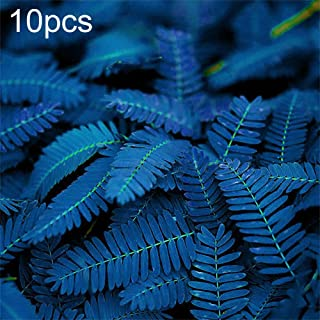 HeZelect Mimosa Seeds,Flower Seeds,Easy to GrowBlue ColorGarden Balcony Outdoor Bonsai Perfume Flower Perennial Plant for Decorating Garden-10/20/50Pcs 10pcs Mimosa Pudica#