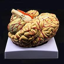 Human Brain Model, Anatomically Accurate Brain Model 8-Part Human Brain Anatomy for Science Classroom Study Display Teaching Medical Model