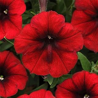 Petunia - Easy Wave Flower Garden Seed - 100 Pelleted Seeds - Red Velour Blooms - Annual Flowers - Spreading Low Growing Petunias