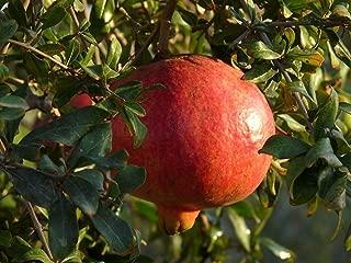 eversweet pomegranate tree