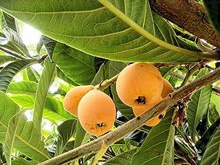 Best loquat plant for sale Reviews