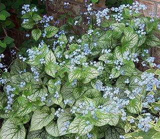 Jack Frost Brunnera - Shade - Blue Flowers - Very Popular - One Gallon Pot