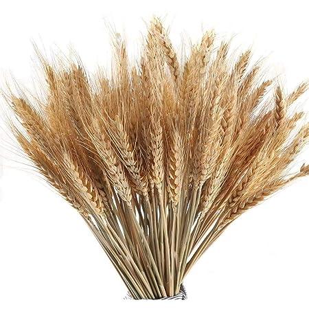 Dried Wheat Dried Decorative Grass Triticum Dried Silver Tip