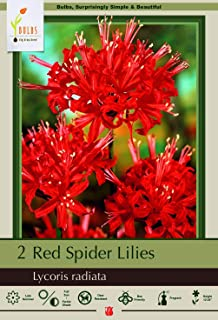 red spider lilies for sale