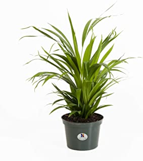 Best yellow butterfly palm Reviews