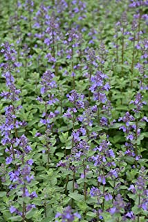 Blue Wonder Catmint Perennial Plant - Nepeta racemosa - Good for Cats - 3