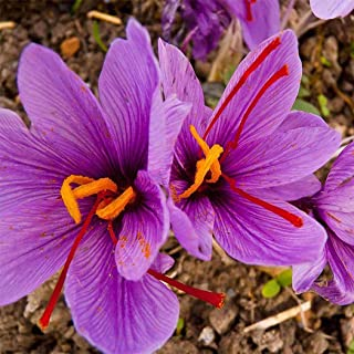 Earth Seeds Co 100 Pcs Saffron Crocus Seeds Perennial Plants Super-Hardy Scented, Attractive to pollinators,Easy to Grow Flower Seeds for beds and Borders, Patio pots and containers