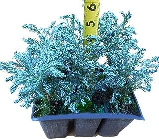 chamaecyparis pisifera bonsai