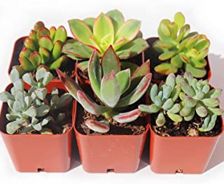 Succulent Plants 6-Pack, Fully Rooted in Planter Pots with Soil - Real Live Potted Succulents,Hand Selected Variety Pack of Mini Succulents