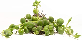 Round String Pearls (4 Count) - Decorate Your Home/Garden with a Healthy Round String Pearl Succulent Plant by Jiimz