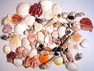 Creative Hobbies Sea Shells Mixed Beach Seashells - Various Sizes up to 2