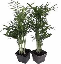 Victorian Parlor Palm 2 Plants - Chamaedorea - Indestructable - 3