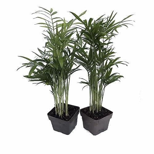 Bamboo Palm: Amazon com