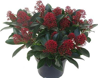 Skimmia japonica Rubella - japanische Blütenskimmie - winterharter, wintergrüner, blühender Strauch 17 cm Topf als Kübelpflanze - für Balkon, Terrasse, Garten, klein bleibend