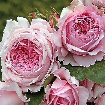 Kordes Rosen Alexandra-Princesse de Luxembourg Strauchrose, rosa, 12 x 12 x 40 cm