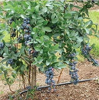 titan blueberry plant