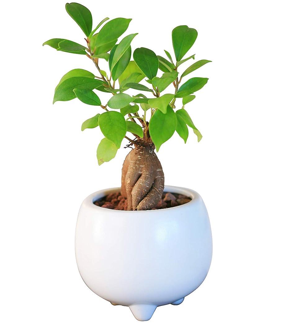 人形ステープル課すガジュマル陶器鉢植え(ホワイト)