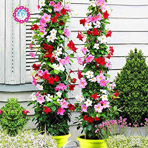 100pcs escalade noir graines de pétunia graines de fleurs melissa originales fleurs vivaces pour la plantation en pot bonsaï jardin maison pétunia 6