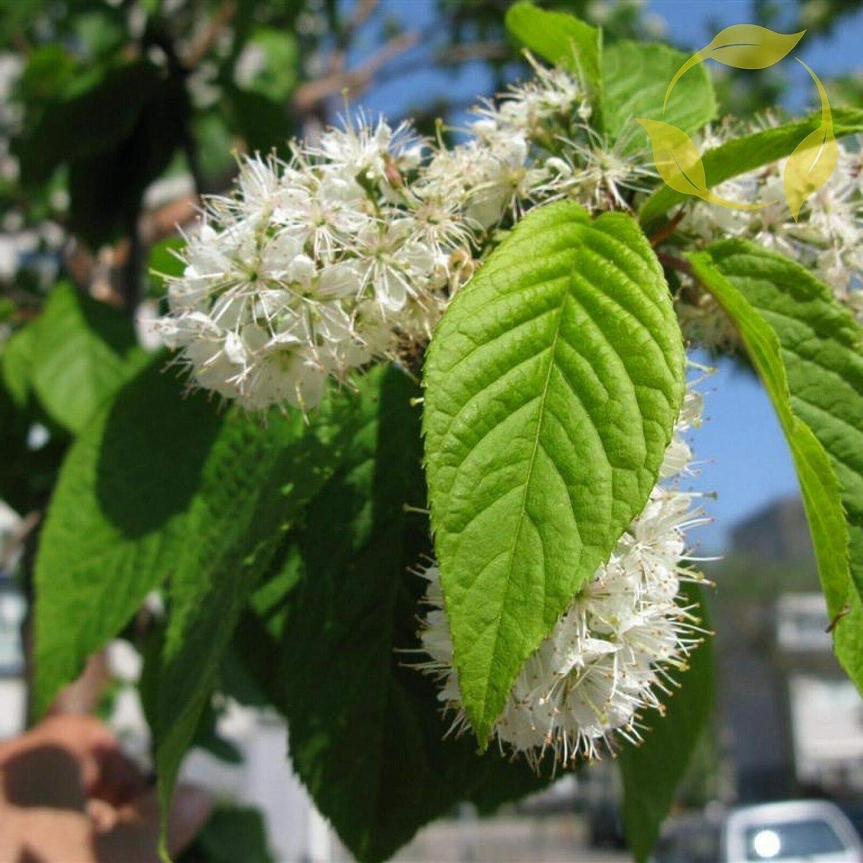NP - Amur Chokecherry Prunus unisex Ranking TOP10 Maackii 20 Seeds Flower OMS Dec