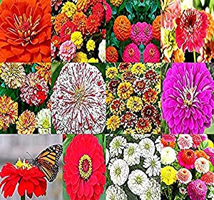 Big Pack - (2,000+) Zinnia Rainbow Mix - Flower Seeds By MySeeds.Co (Big Pack - Zinnia Mix)