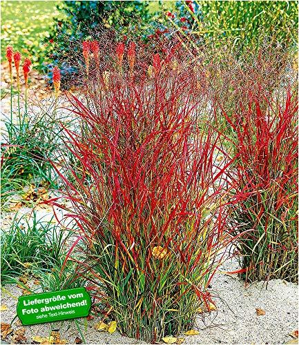 "BALDUR-Garten Winterhart Ziergras""Roter Strahl"", 1 Pflanze Panicum virgatum Rotstrahlgras"