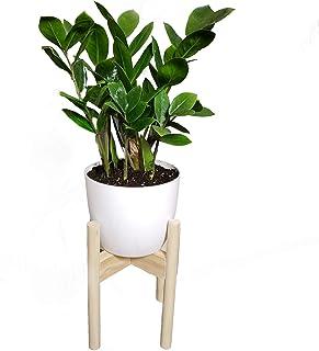 Ixora Live Plant