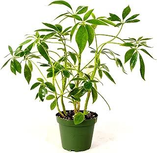 Schefflera Green Hedge Shrub - 4