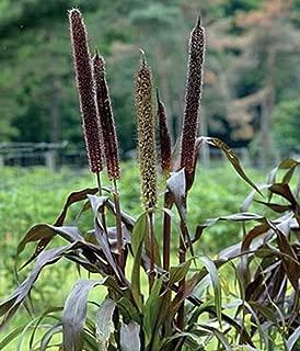 Best ornamental millet purple baron Reviews