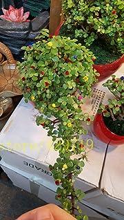 20 PC semillas del árbol de dinero semillas de mini bonsai de la planta de jardín y decoración del hogar, que dan buena su...