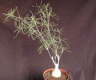 Euphorbia Hedyotoides Exotic Rạre Madagascar Bónsai Caudex Cacti SéẹD 30 SéẹDs Seeds_Easy_Grow