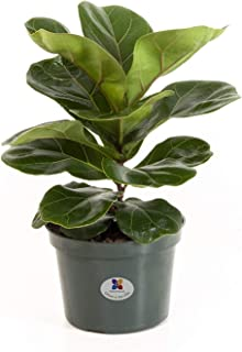 United Nursery Ficus Lyrata Pandurata Plant Fiddle Leaf Fig Live Outdoor Tree Indoor House Plant Ships in 6 inch Grower Pot at 12-16 Inches