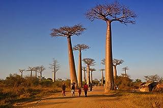 2pcs importados Semillas Semillas originales de Baobab Adansonia digitata semillas del árbol gigante de Plantas Bonsai Gar...