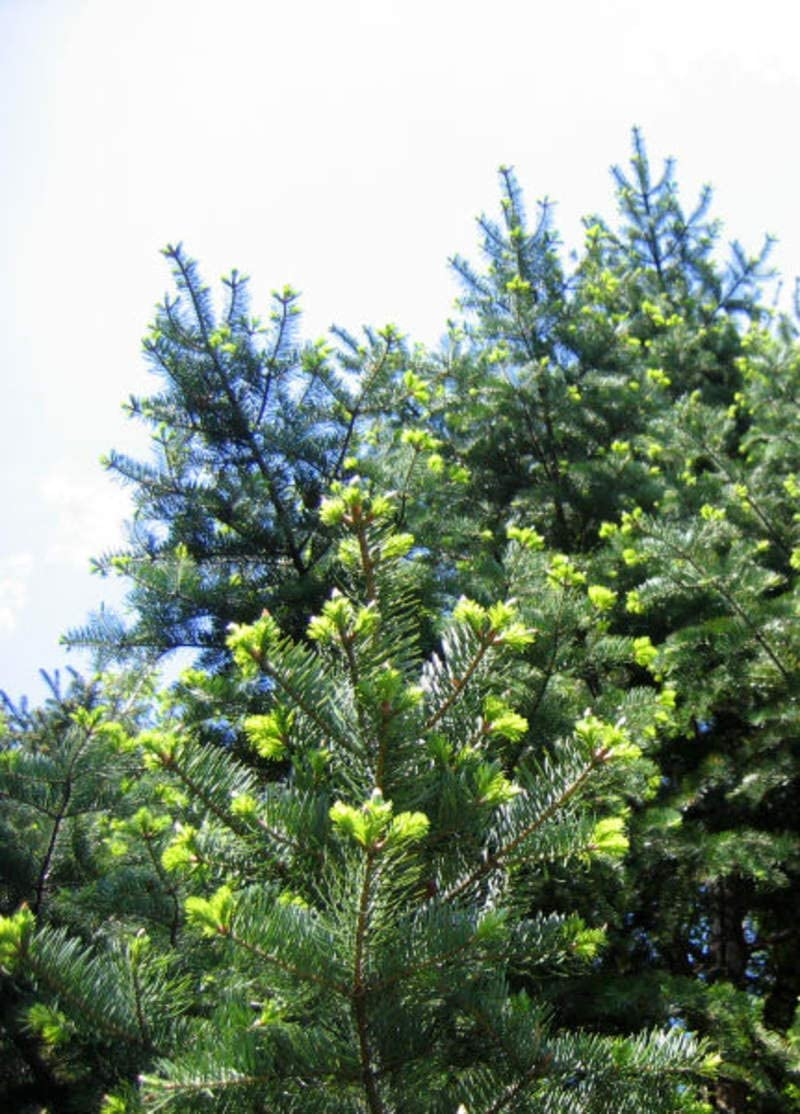 1 oz Seeds Ranking TOP1 Approx 794 Denver Mall of Abies Needle M Fir holophylla