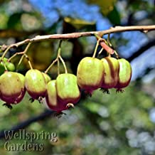 HIGH Germination Seeds:Hardy Kiwi Fruit Plant Actinidia arguta 'Ananasnaja' e Male Anna's Yang Tao