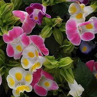 TORENIA Flower Garden Seeds - Kauai Mix -100 Seeds - Annual - TORENIA FOUNIERI