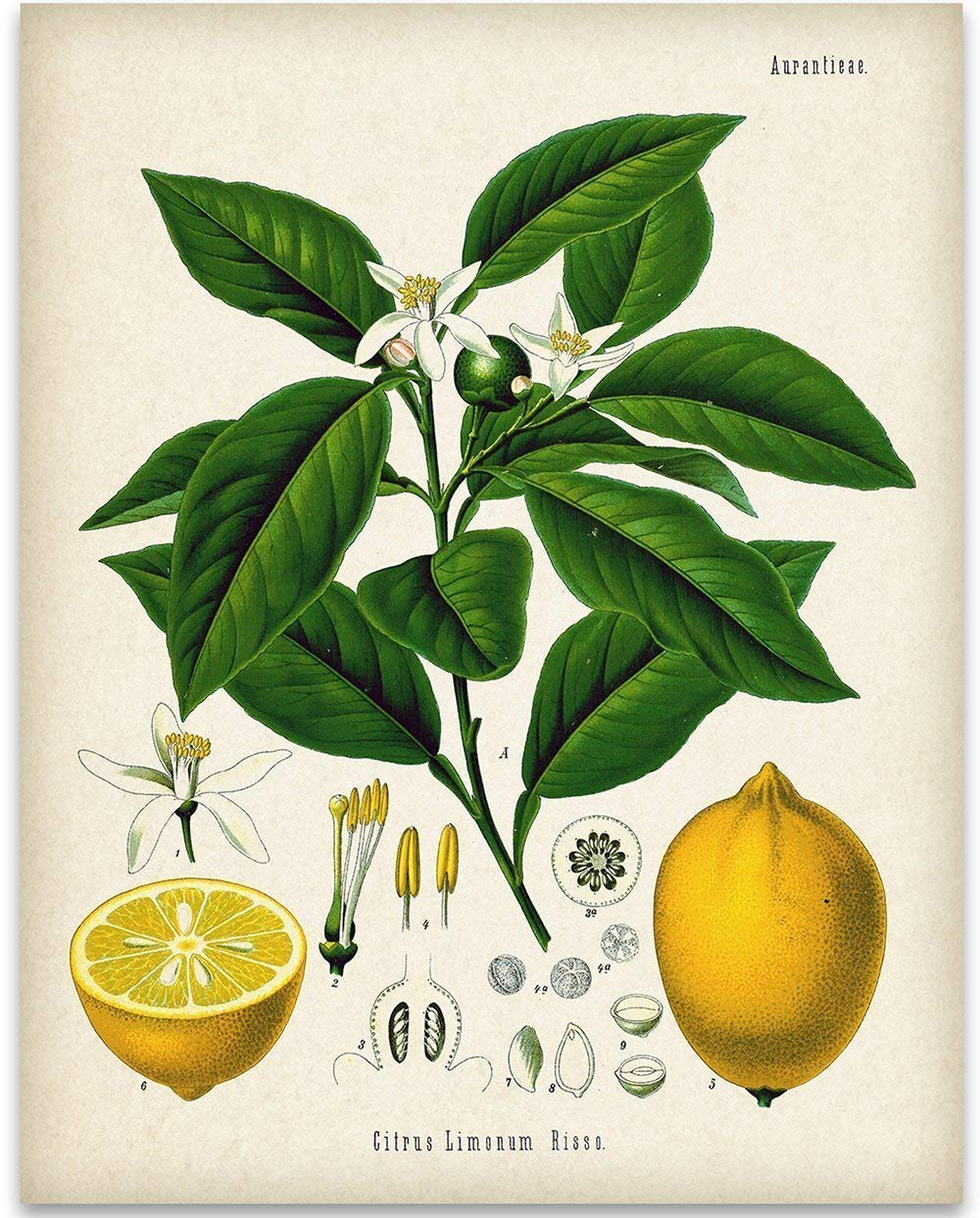 Lemon Citrus Botanical Illustration store - 11x14 Art Unframed Print Directly managed store