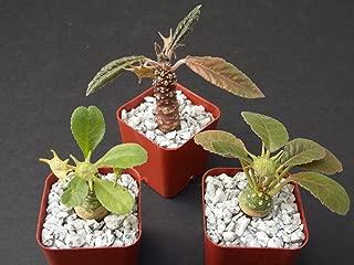 DORSTENIA Collection Variety Mix Exotic Bonsai Africa Caudex Rare 3 Plant 2