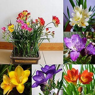 Portal Cool Las semillas 100pcs perenne perfumado jardín de flores de Fresia Raras Bonsai Bulbos Niza