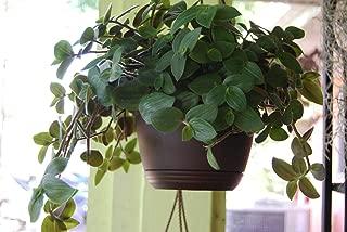 Baby Bunny Bellies Tradescantia Wandering Jew Basket House Plant - Speedy Jenny