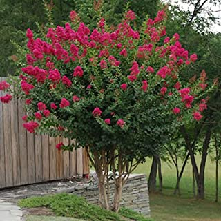 Tonto Dwarf Crape Myrtle, Pack of 5, Striking Dark Watermelon Red, Matures 8`-10` (2-4ft Tall When Shipped, Well Rooted in...