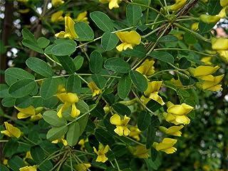 シベリアエンドウ豆の木、ムレスズメ属arborescensの、ハーディ!香りがよい!30種