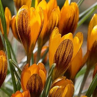 Van Zyverden Crocus Orange Monarch Set of 25 Bulbs