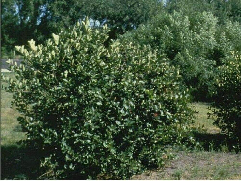 Buch4Land Soldering Now on sale Black Chokeberry Aronia 50 Seeds Melanocarpa Garden