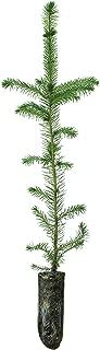 colorado blue spruce bonsai