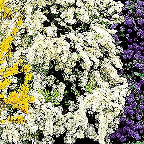 SANHOC Samen-Paket: 2: Spirea arguta Brautkranz - 2 shrubsSEED